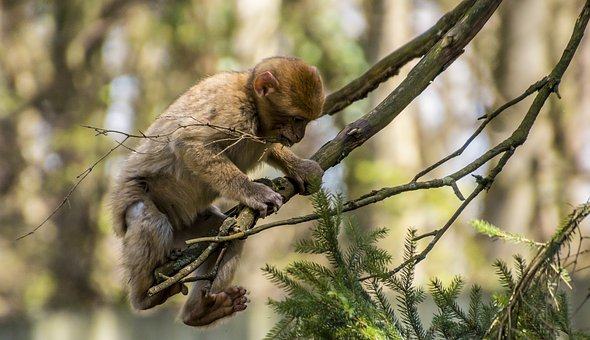 Singe perché sur une branche